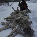 Trappage qui aide à contrôler les loups