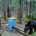 Chasse ours noir pourvoirie Rudy Laurentides