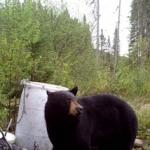 Site d'appatage à l'ours noir