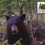 Chasse à l'ours noir dans les Laurentides (Quebec)