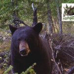 chasse-ours-noir-pourvoirie-rudy-laurentides